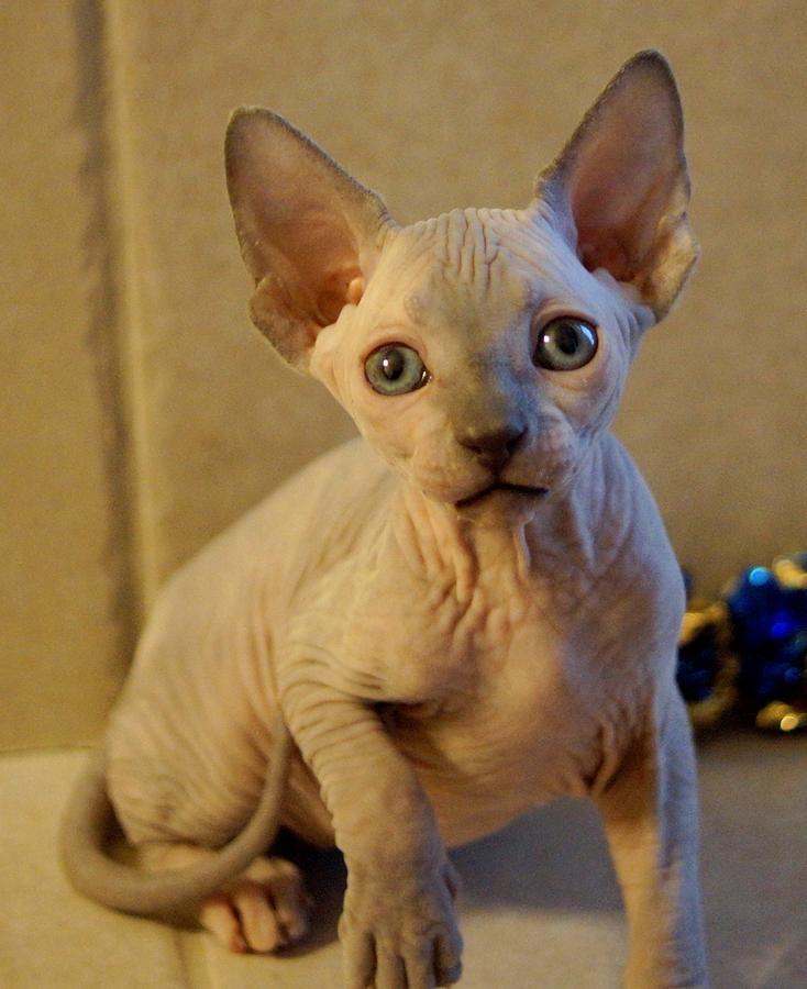 Sphynx Kitten Beautiful Female In Alvaton Kentucky Hoobly Classifieds Sphynx Cat Kitten Animals