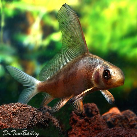 Chinese High Fin Banded Shark For Sale Aquarium Fish Pet Fish Fish