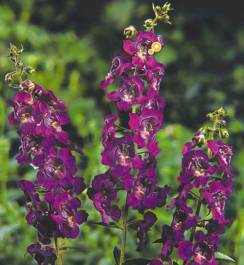 Angelonia Heat tolerant plants, Plants, Container gardening