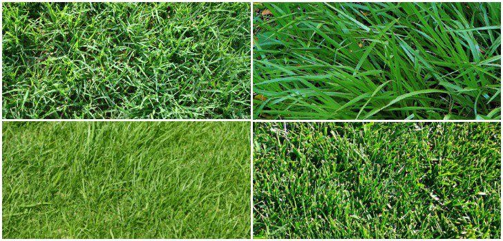 An Overview Of The Major Types Of Lawn Grasses While Selecting Lawn Grasses You Should Go For Those That Thrive In T Grass Type Types Of Lawn Lawn Grass Types