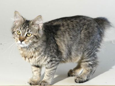 Pixie Bob Cat | My Pets | Pixie bob cats, Pixie bob, Cats