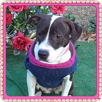 Marietta, GA Boxer Mix. Meet KADIE a Dog for Adoption