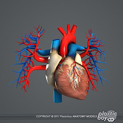 Human Male Heart Anatomy 3D Model - there are many accurate ...