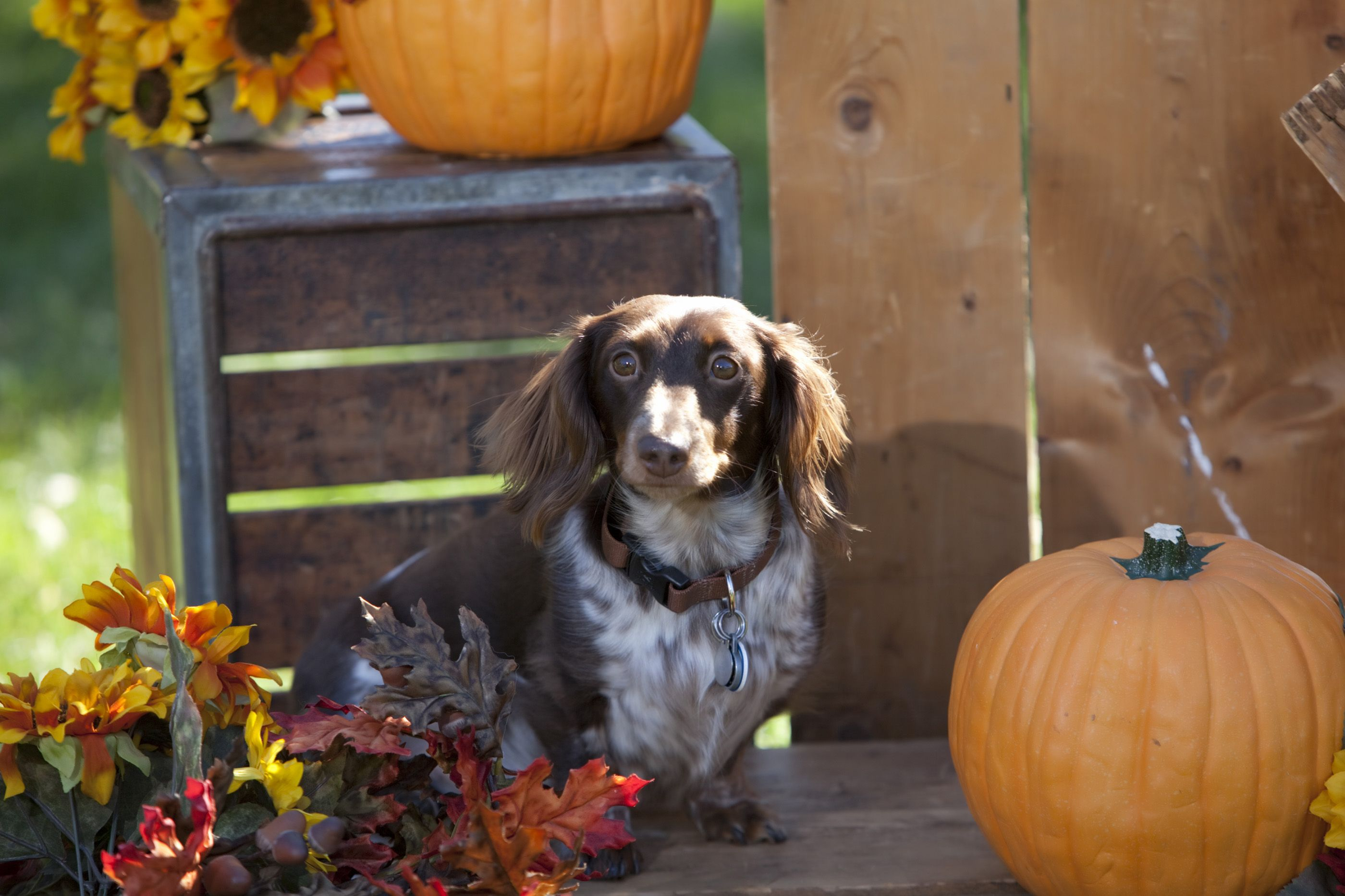 My name is Bosco and I was featured in the Dogtober-fest brochure.  I'm a Wilsonacres Puppy!!
