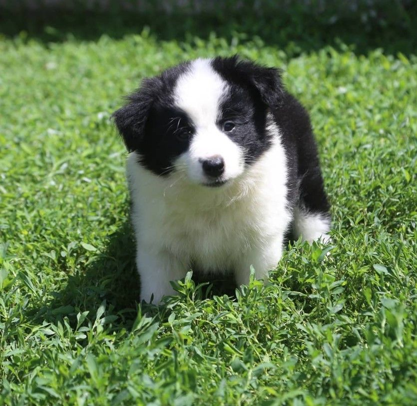 150 Best Border Collie Dog Names Dog Names Best Dog Names