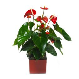 Kwiaty Doniczkowe Flores Plantas Bonsais