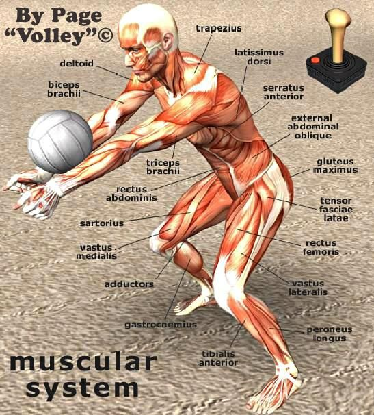 Muscular System #Volley Funny Stuff | Anatomy | Pinterest | Voley ...