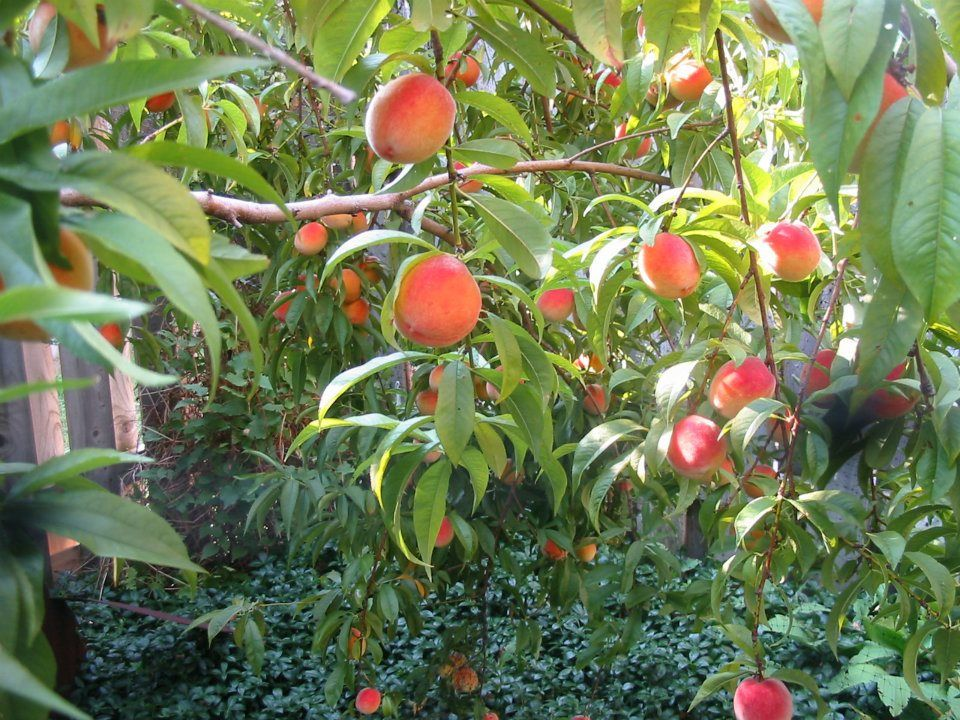 Peaches Galore   Semi/dwarf 6 Year Old Peach Tree Grows Beside Our Patio The