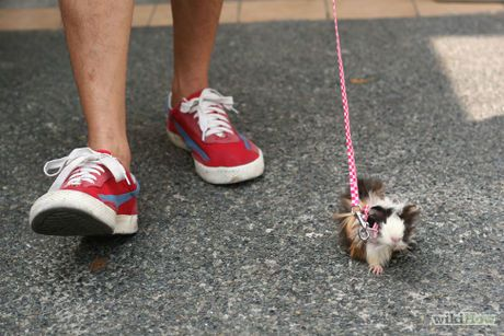 Walk a guinea pig on a leash animal pig stuff and cavy image titled walk a guinea pig on a leash step 3 publicscrutiny Image collections
