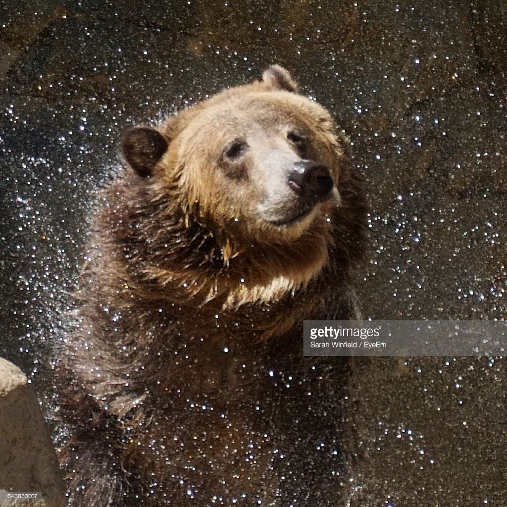 Grizzly Bear Shaking Off Water