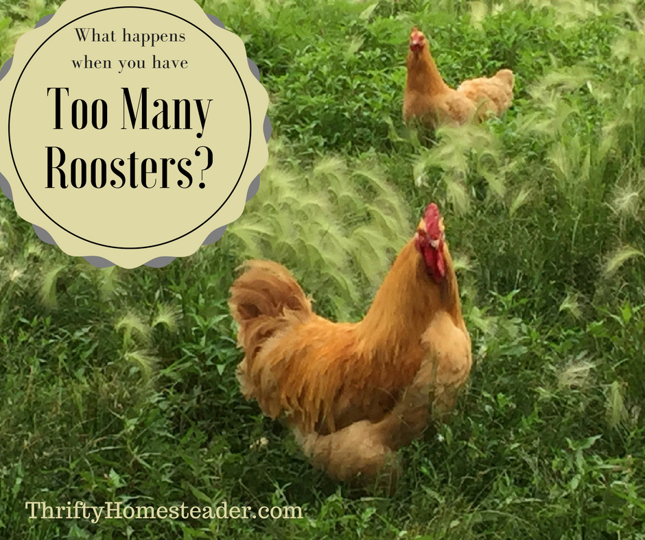 What Happens When You Have Too Many Roosters?