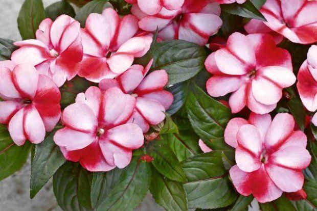 Kwiaty Na Balkon Te Rosliny Polecaja Nasi Czytelnicy