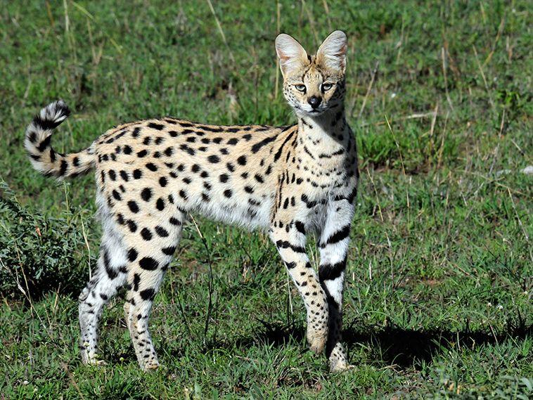 A Striking Photo Of A Very Rare Black Serval Cat Serval Cats Wild Cats Small Wild Cats