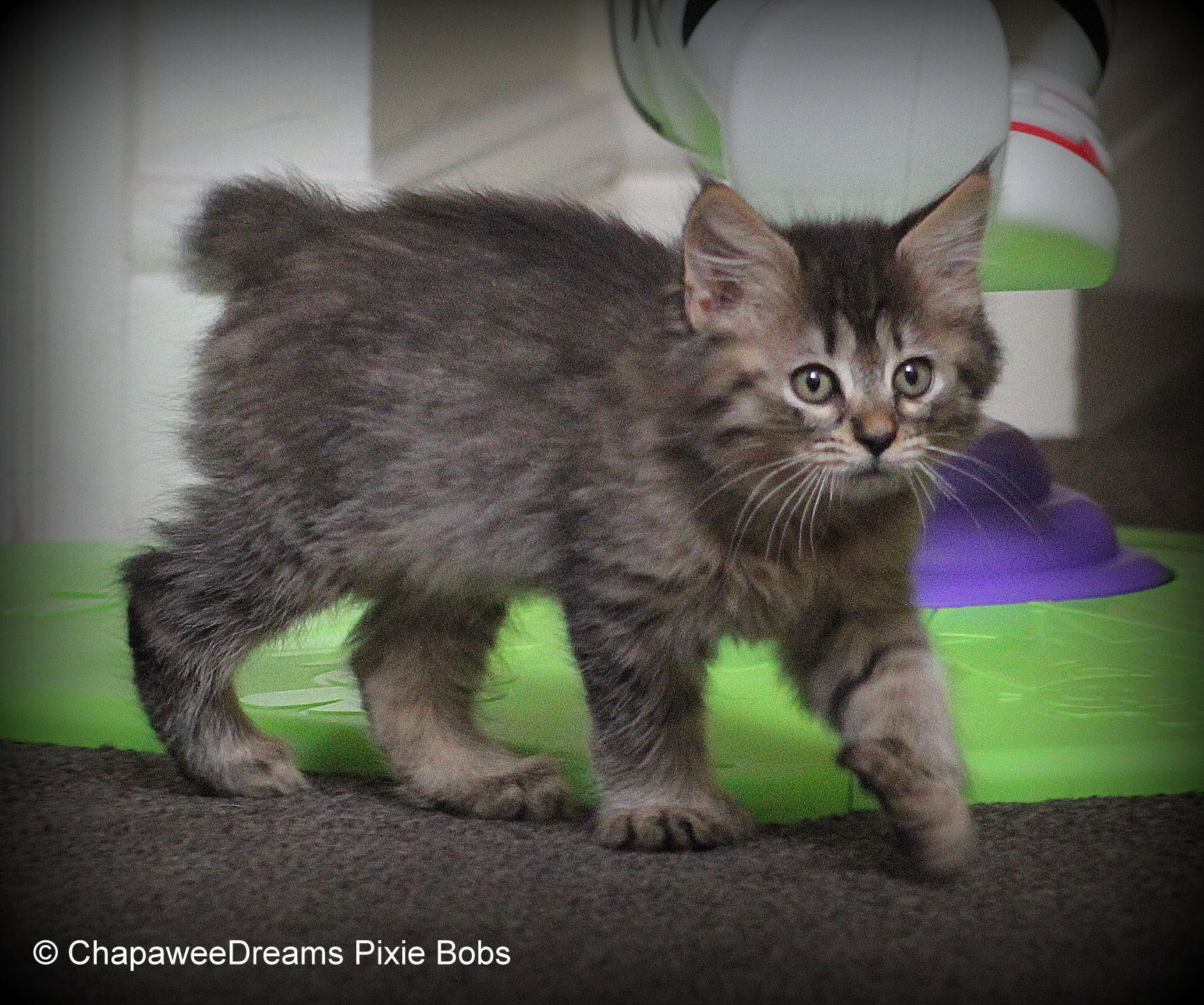ChapaweeDreams Pixie Bobs Kittens want Pinterest
