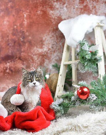 Cat with Santa hat and ladder