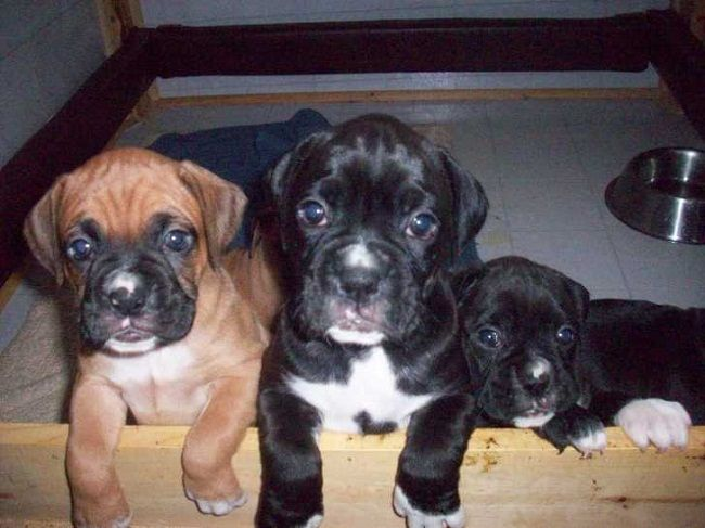 boxer puppies for sale in ohio Zoe Fans Blog Boxer