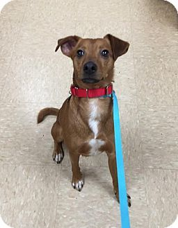 Burlington Wa Basenji Chihuahua Mix Meet Jojo A Dog For