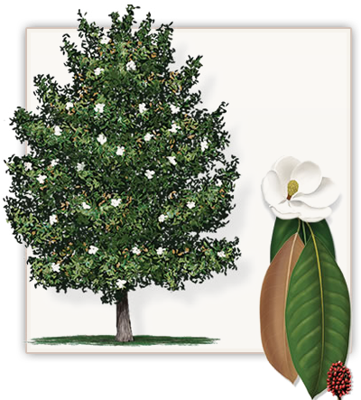 Pin By Teresa Alesi On Magnolias Southern Magnolia Tree Magnolia Trees Southern Magnolia