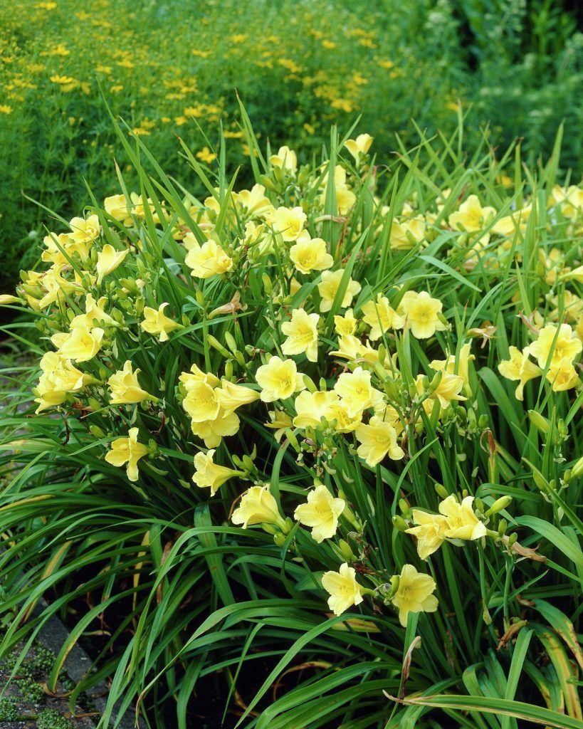 Hemerocallis Happy Returns  Uncanoonuc Mountain Perennials