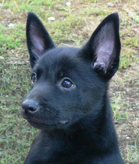 Australian Kelpie Photo Suthenskys Australian Kelpies