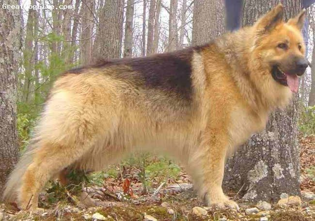 akita german shepherd corgi mix german shepherd akita corgi mix google search animals 4675