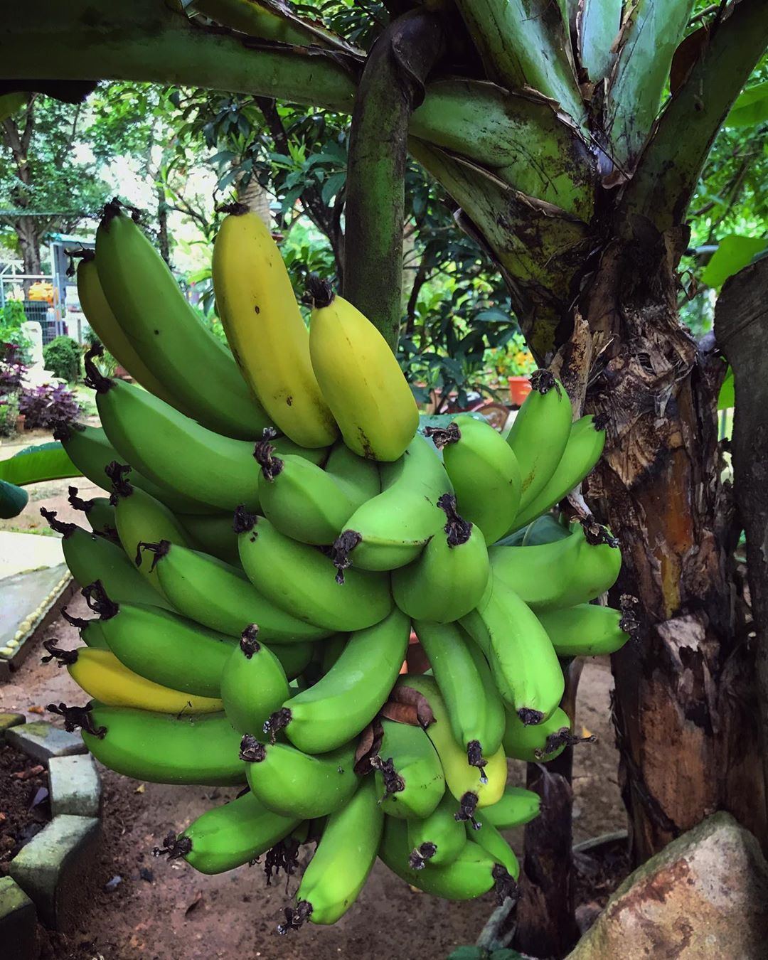 Photo of Homegrown bananas, anyone? It took us almost a year of caring for this banana tr…
