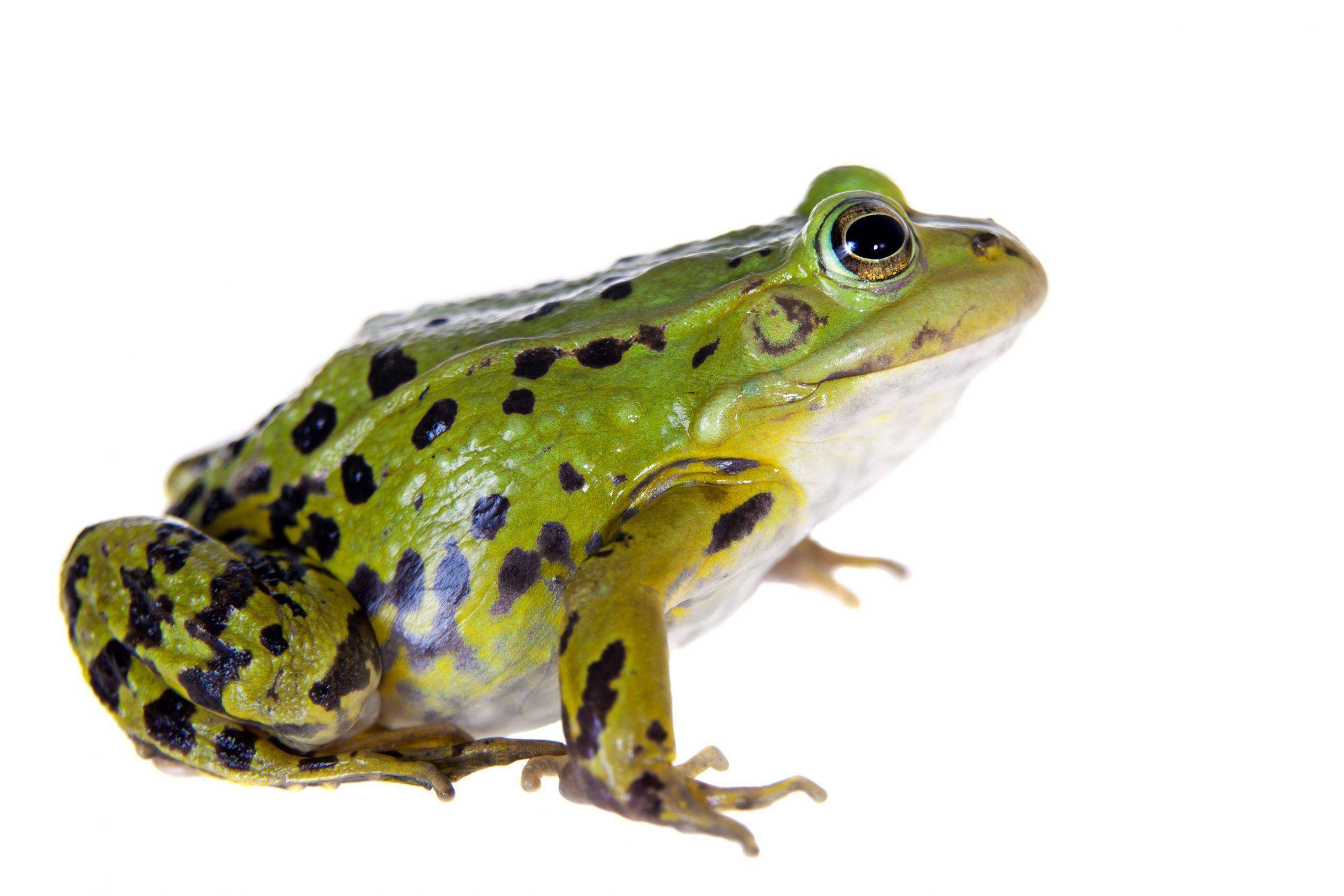 Synthetic Frogs Being Successfully Used for Dissection at