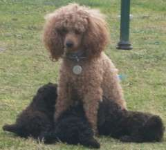 Toy Poodle Pure Bred 4 Rare Coc 1 Black Boys Puppies For Sale