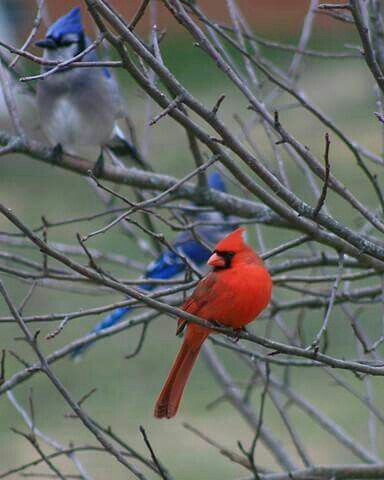 Cardinals And Blue Jays My Favoritestogether Feathered