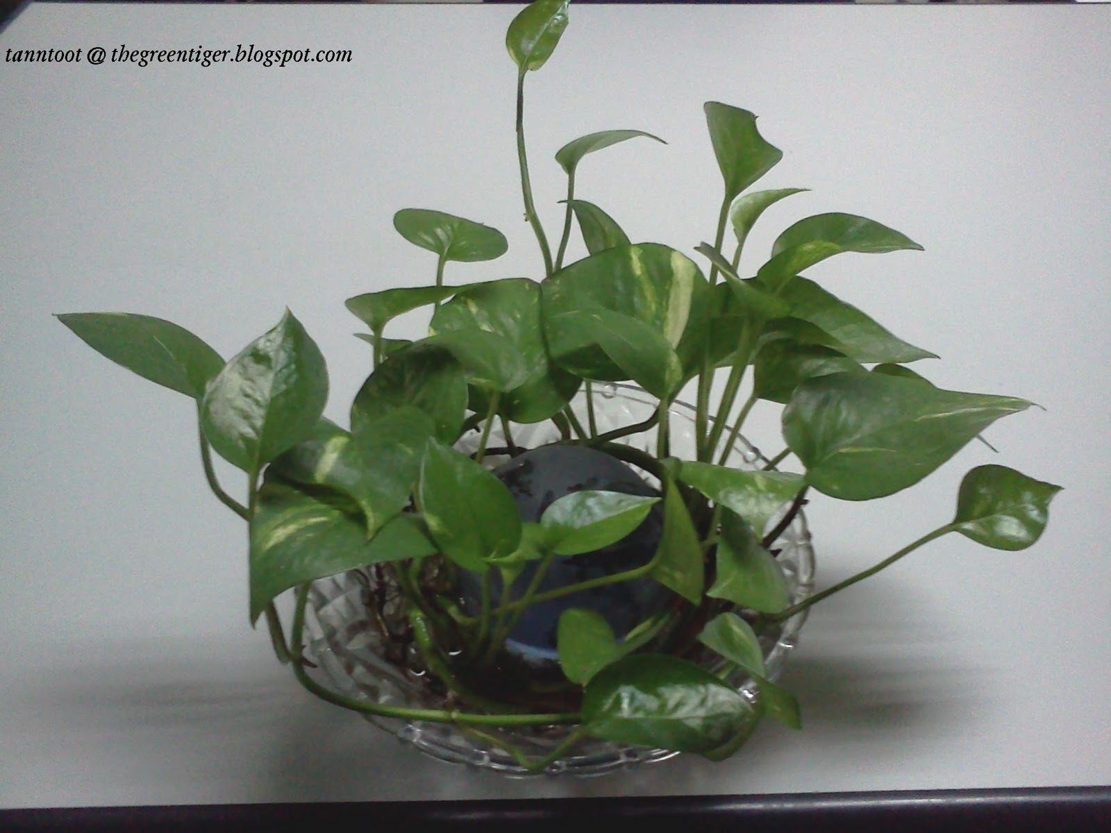 golden pothos money plant in water medium house plants. Black Bedroom Furniture Sets. Home Design Ideas