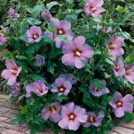 Hibiscus Rose Of Sharon Minerva 2pc Set Of 2 Rose Of