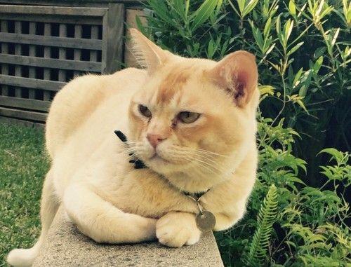 Reunited Humphrey The Red Burmese Cat Doublebay Nsw 2028