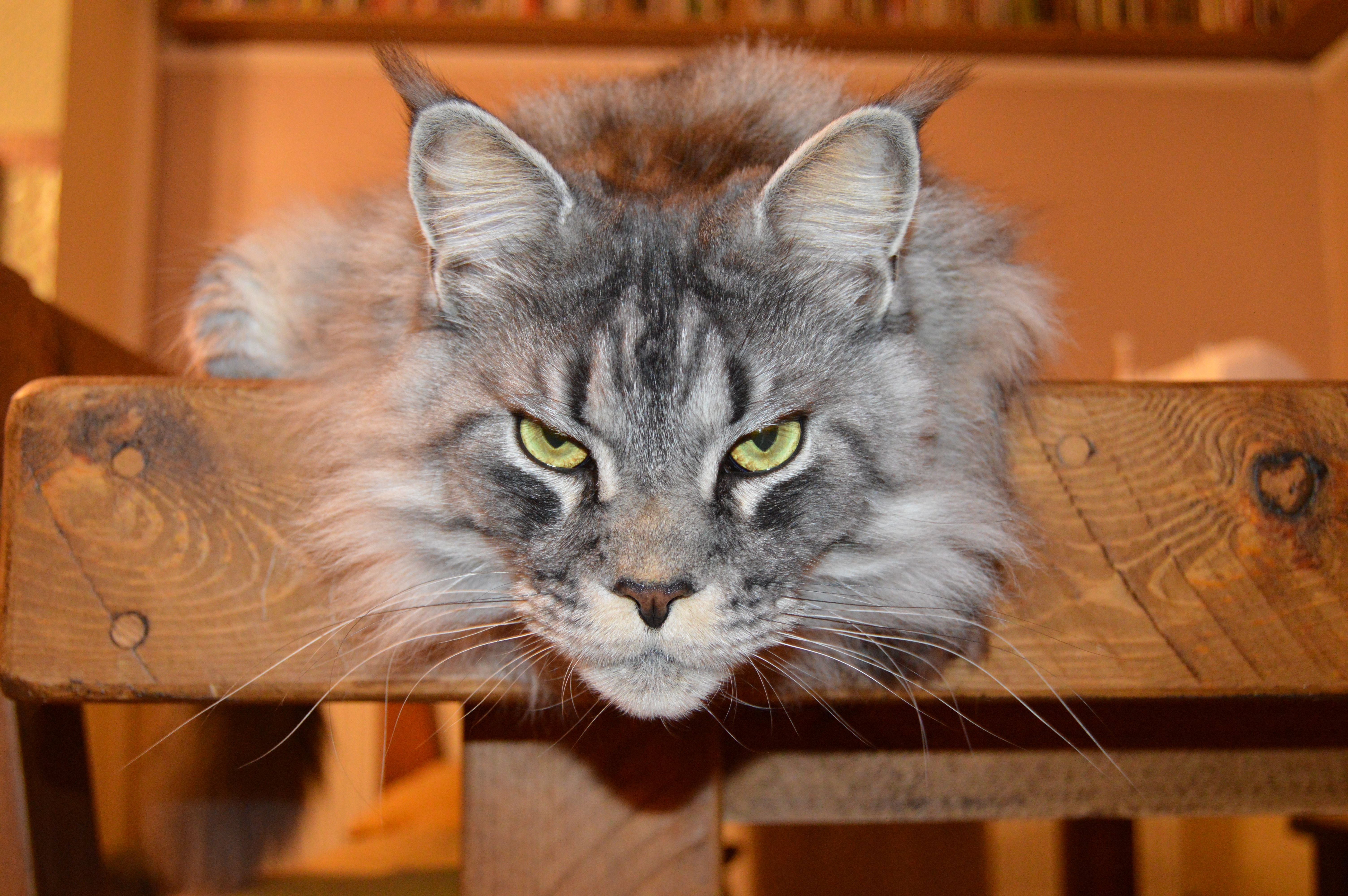 Pin on We Maine Coons