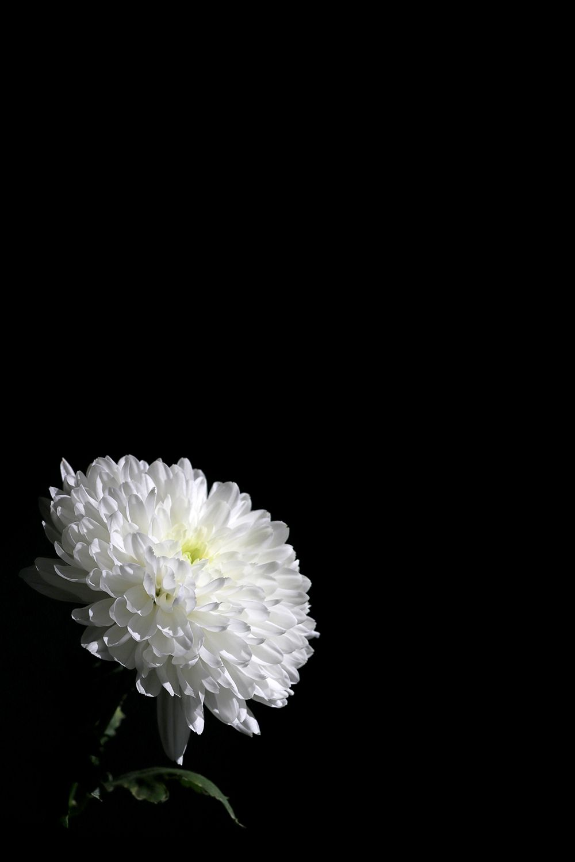 Holy Light Still Mary Jo Hoffman Dark Flowers Flower Background Wallpaper Flowery Wallpaper
