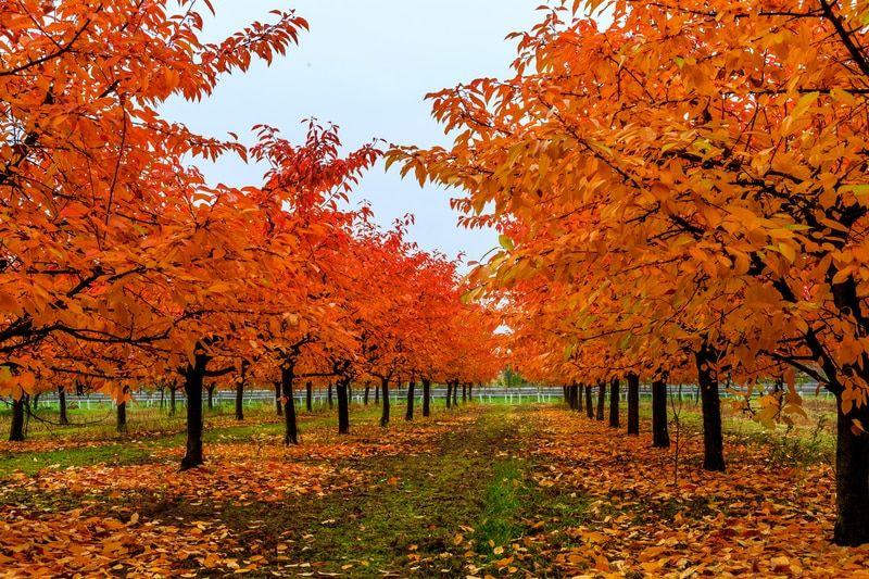 Scarlet Oak Tree Red Oak Tree Landscaping Trees Growing Tree