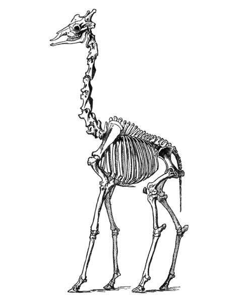 giraffe skeleton.