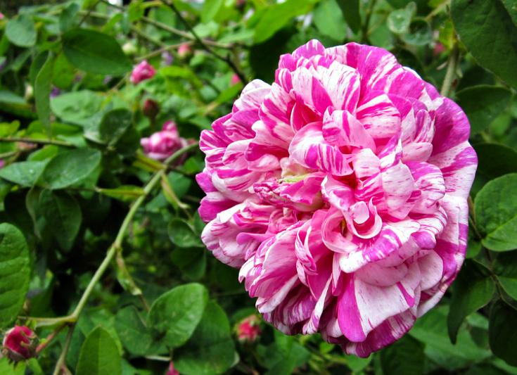 Gallica Rose Camaieux.