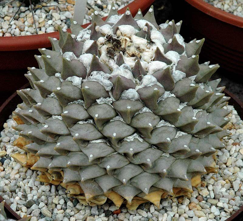 Ariocarpus_retusus