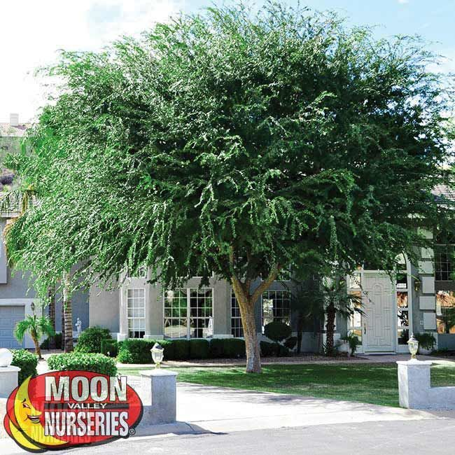 Chinese Elm Fast growers Moon Valley Nurseries Front Yard