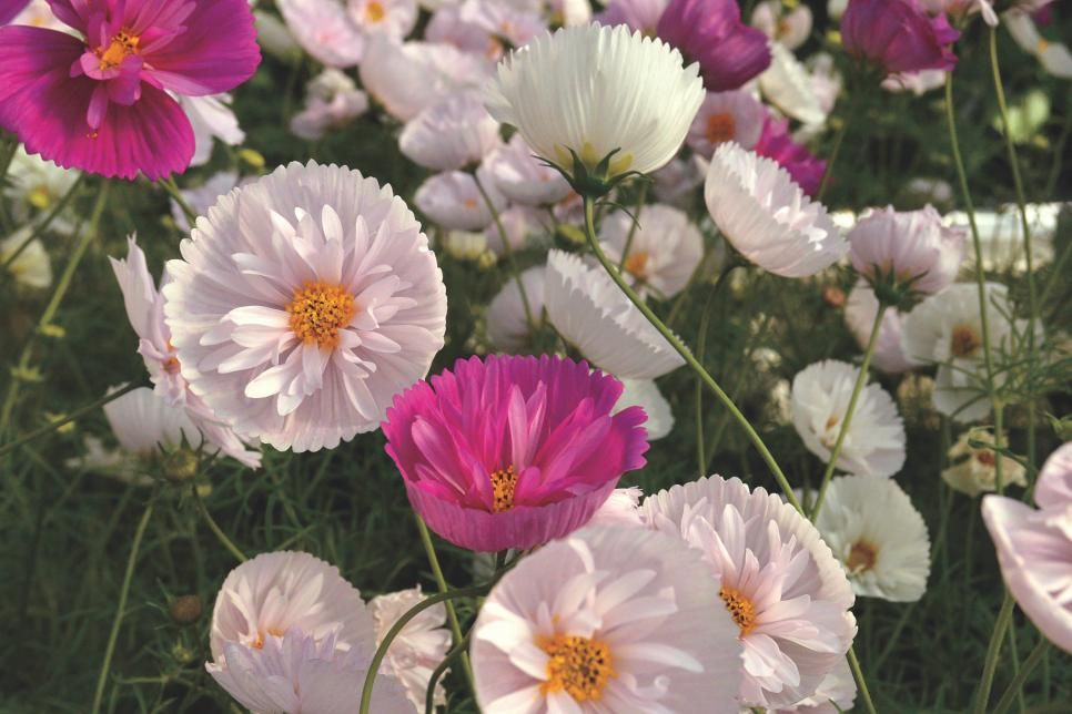 Old Favorite Flowers With A New Twist To Grow For 2018 Flower Seeds Cosmos Flowers Flower Landscape