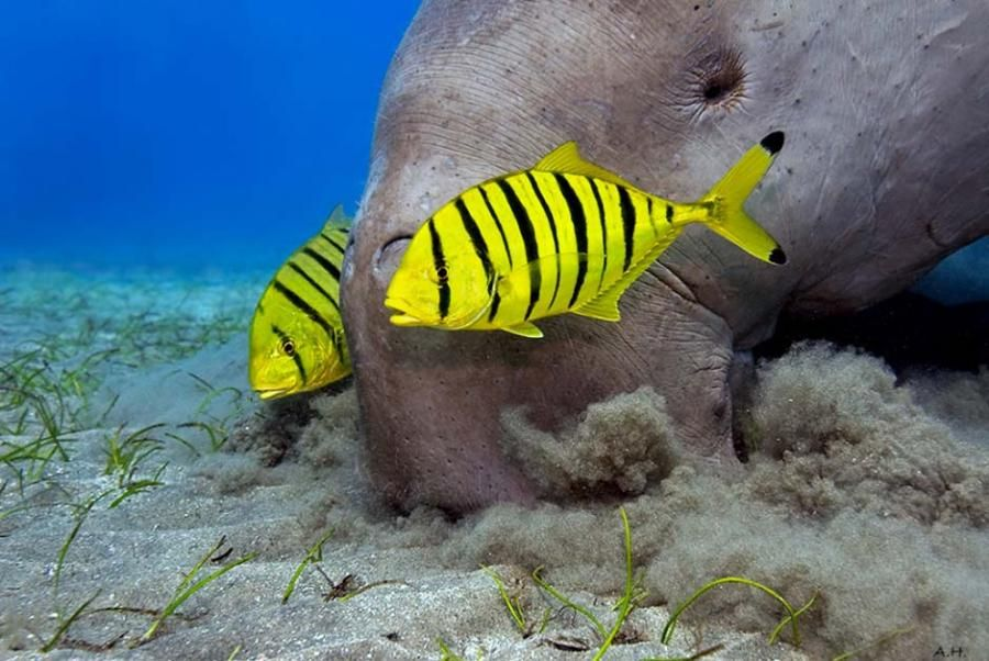 Golden Trevally (Gnathanodon speciosus) and a Dugong (Dugong dugon) by Andreas-Hamacher