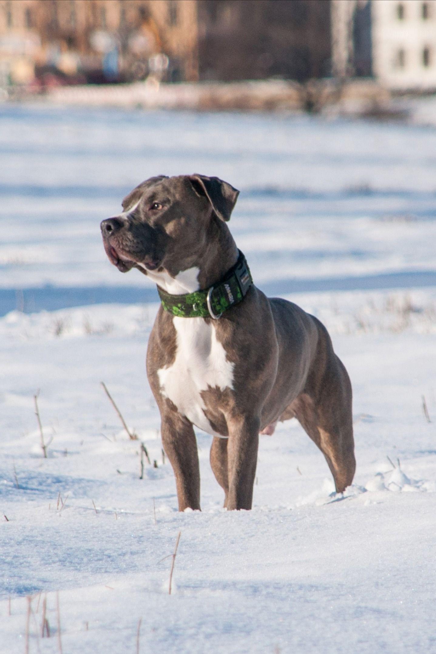 Vous souhaitez adopter un Pitbull ? Découvrez les atouts et inconvénients de cette race sur le Blog de La Ferme des Animaux