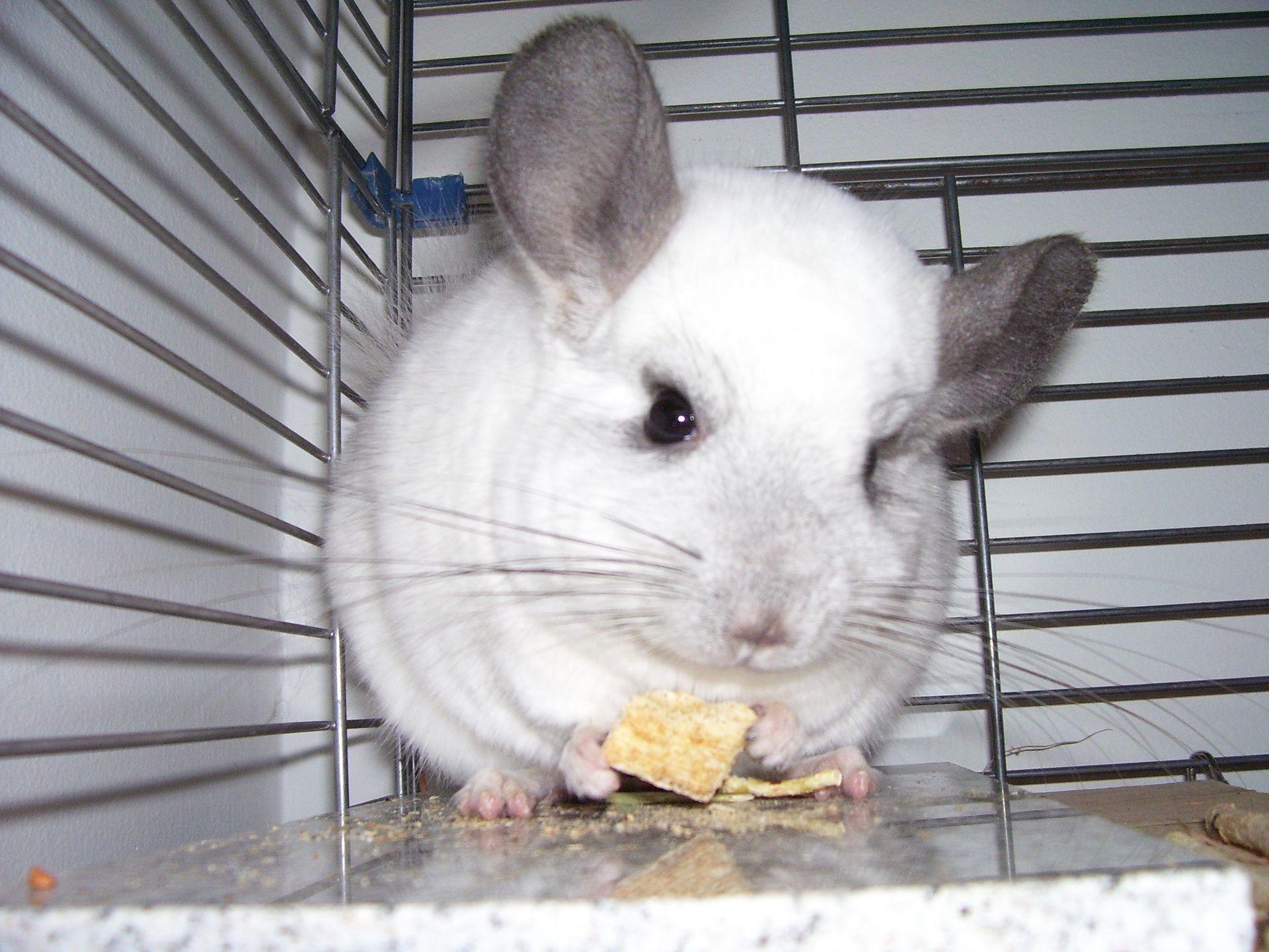Chinchilla Pet For Sale