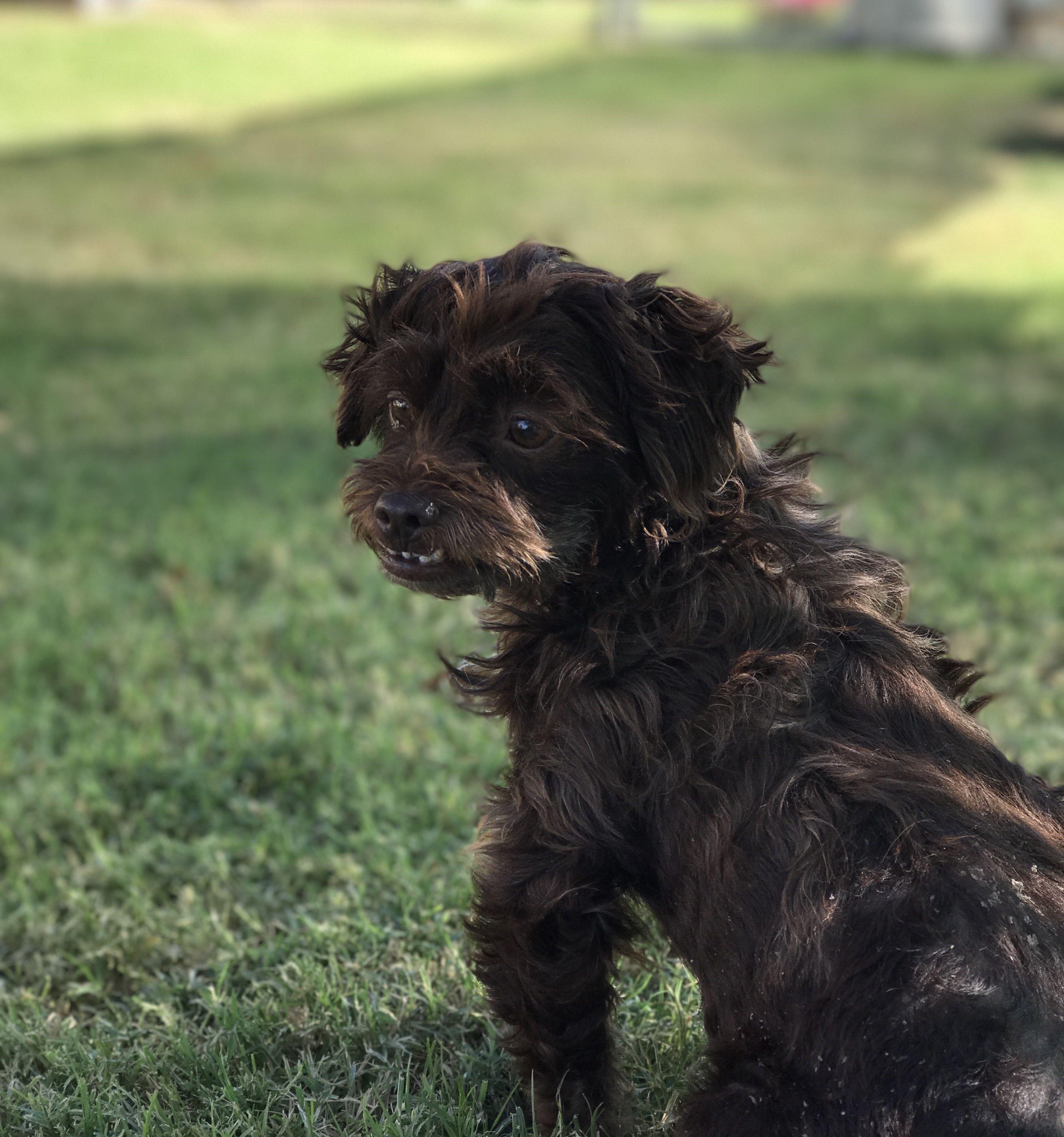 Cavapoo Dog For Adoption In Fresno Ca Adn 751767 On Puppyfinder