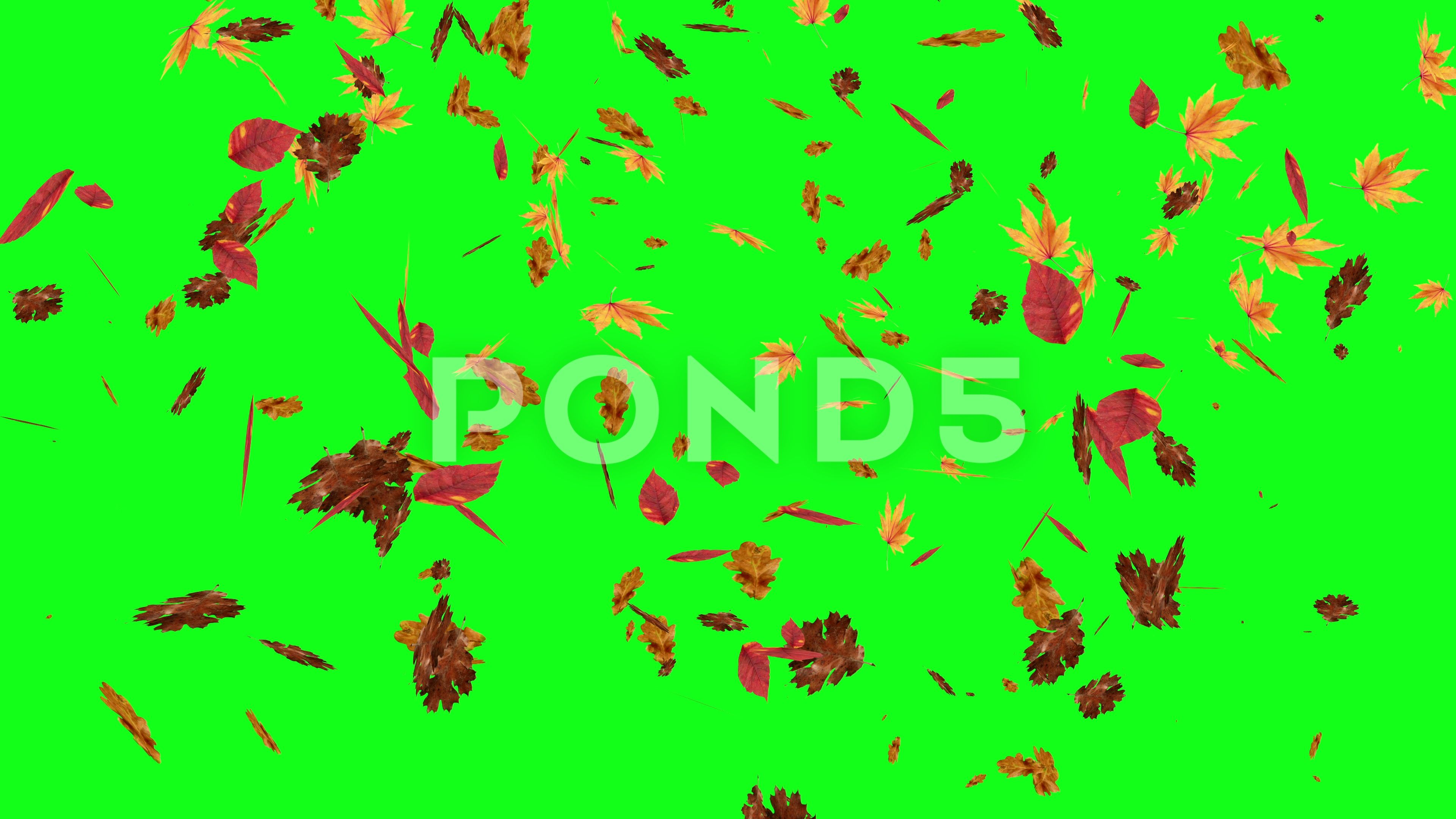 Autumn Leaves Falling On Green Screen Chroma Key Editable Background Stock Footage Ad Green Screen Falling Autumn Chroma Key Greenscreen Autumn Leaves