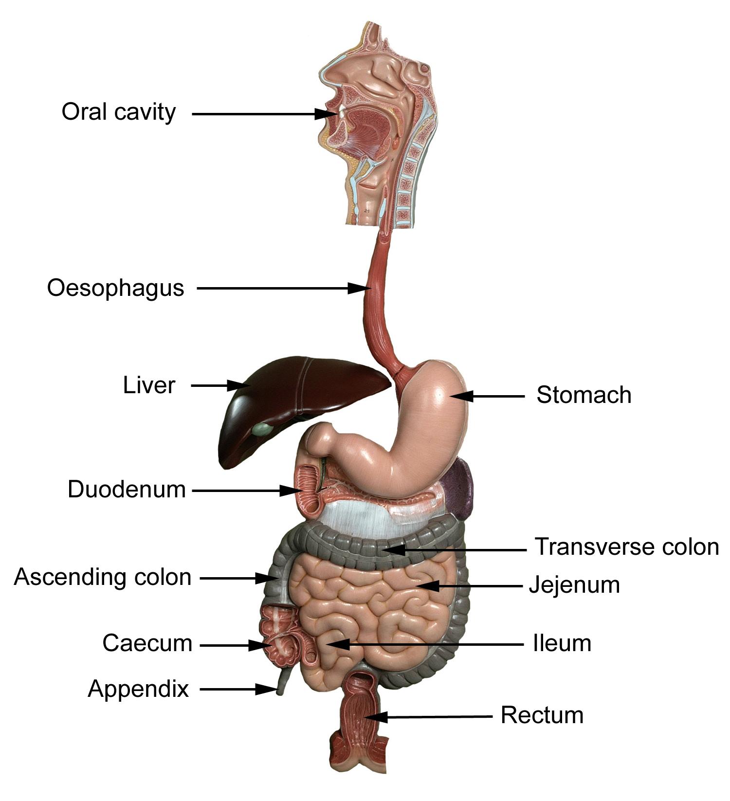 Gastrointestinal Anatomy Anatomy Pinterest
