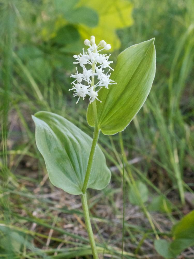 Wild LilyoftheValley AKA Canada Mayflower Maianthemum