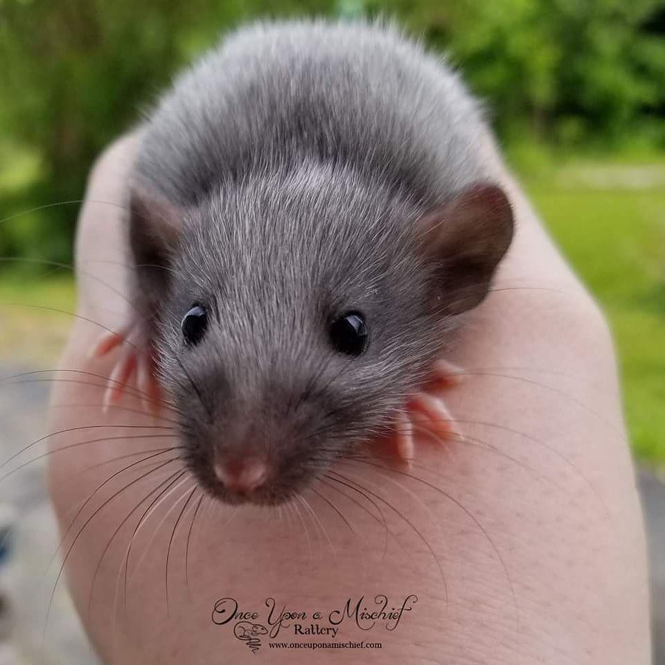 Black Silvermane Baby Aww Cute Rat Cuterats Ratsofpinterest