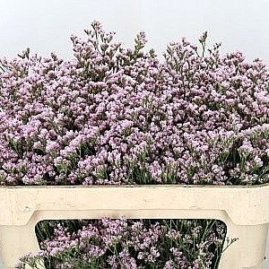P limonium mr silver pink 60cm is a beautiful pink filler flower p limonium mr silver pink 60cm is a beautiful pink filler flower mightylinksfo