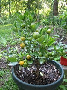 The Carrot Eating Toddler Garden Yard Ideas Bush Plant Calamansi